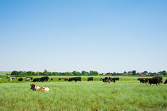 Herd of cows grazing Royalty Free Stock Images