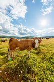 Herd of cows grazing on sunny field Royalty Free Stock Photos