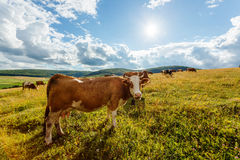 Herd of cows grazing on sunny field Stock Photo