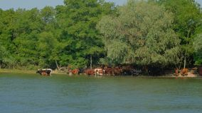 Herd of cows grazing in the water under the trees near the shore stock image