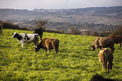 Herd of cows in green field Stock Image