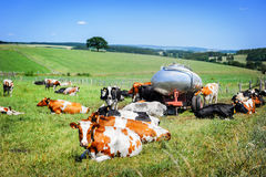 Herd of cows at green field. Agricultural concept Stock Photography
