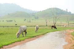 Herd of cows in green grass mountain Royalty Free Stock Image