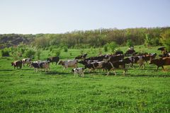 Cows on the green meadow. Herd of cows on the green pasture Stock Images