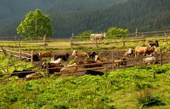 Herd of cows having rest royalty free stock photo