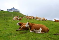Herd of cows at high altitude in Saalbach- Hinterglemm Stock Photography