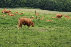 Herd of cows. Herd of cows on the hillock at the countrysdie in the summer royalty free stock image
