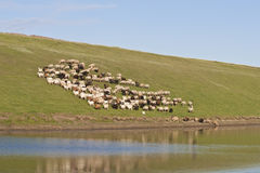 Herd of cows on hillside Stock Images