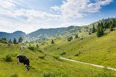 Herd of cows from Italian alps Stock Photo