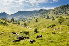 Herd of cows from Italian alps Royalty Free Stock Image