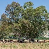 Herd of cows, Kefalonia Greece stock image