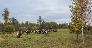 A herd of cows. Large herd of cows on the grazing quiet autumn evening stock photography