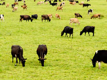 Herd of cows on lush green meadow pasture Royalty Free Stock Photography