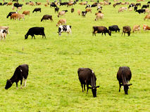 Herd of cows on lush green meadow pasture Stock Photography