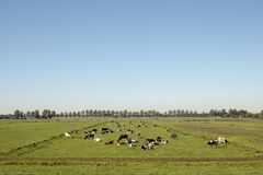 Herd of cows lying down on a meadow in flat dutch landscape. stock photo