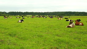 A herd of cows lying on the grass in the field stock footage
