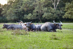 Herd of cows lying on grass Stock Photo