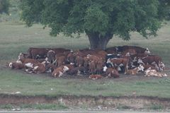 A herd of cows lying in the shade under a tree after grazing. Landscape with cows on a meadow near by lake. No post process, no sh Royalty Free Stock Photo