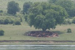 A herd of cows lying in the shade under a tree after grazing. Landscape with cows on a meadow near by lake. No post process, no sh Royalty Free Stock Images