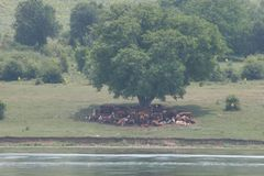 A herd of cows lying in the shade under a tree after grazing. Landscape with cows on a meadow near by lake. No post process, no sh Stock Image