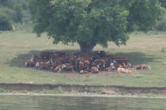 A herd of cows lying in the shade under a tree after grazing. Landscape with cows on a meadow near by lake. No post process, no sh Royalty Free Stock Photos