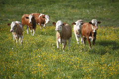 Herd of cows. On a meadow Stock Image