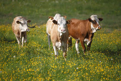 Herd of cows Stock Photos