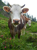 Herd of cows on a meadow Royalty Free Stock Photography