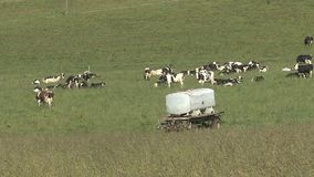 Herd of cows on the meadow stock video