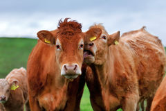 A herd of cows on the meadow lane in the West of Ireland Royalty Free Stock Photography