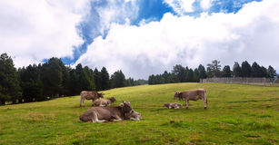Herd of cows  on  meadow Stock Image