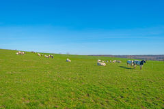 Herd of cows in a meadow in spring Royalty Free Stock Photography