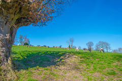 Herd of cows in a meadow in spring Royalty Free Stock Photo