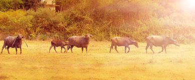 Herd of cows on meadow Stock Images
