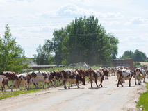 Herd of cows is milking. Beautiful herd of spotted cows walking on asphalt road with a summer field milking Stock Photos