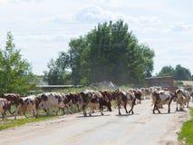 Herd of cows is milking Stock Photos