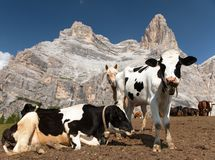Herd of cows and Monte Pelmo Stock Photography