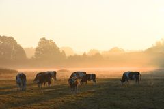A herd of cows. In the morning on a meadow royalty free stock photography