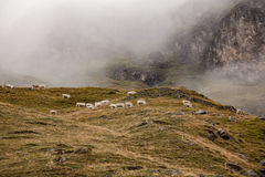 Herd of cows in a mountain pasture. Distance view of a herd of cows in a mountain pasture with foggy background Royalty Free Stock Photos