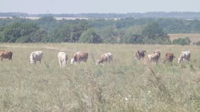 Herd of cows in a natural environment grazing on idyllic pasture stock footage