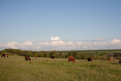 Herd of cows in a natural environment grazing on idyllic pasture illuminated by the morning sun Stock Photos