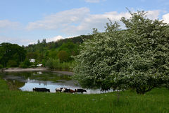Herd of cows near the lake and flowering tree spring. Herd of cows near the beautiful blooming tree and lake Royalty Free Stock Photos