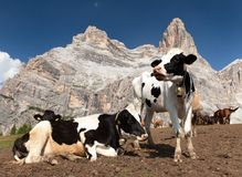 Herd of cows near Monte Pelmo. Herd of cows (bos Taurus) on mountain laying on meadow with bell near Monte Pelmo, Dolomites, Italy Royalty Free Stock Image