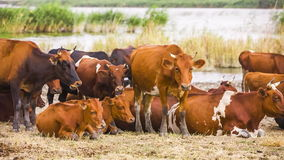 Herd OF Cows Near Pond stock footage