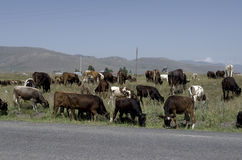 Herd of cows near the road Royalty Free Stock Photo