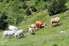 Herd of cows, Orientales, France. Herd of cows in french pyrenees Royalty Free Stock Image