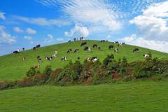 Herd of cows over green hill
