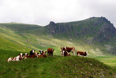 Herd of cows over green hill Royalty Free Stock Images