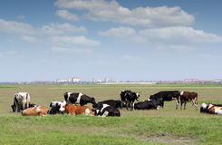 Herd of cows on pasture Stock Photos