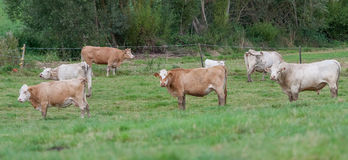 Herd of cows. At the pasture royalty free stock photos